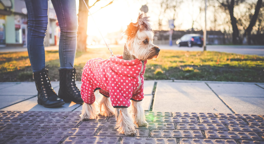 cute-yorkshire-terrier-with-clothes-picjumbo-com