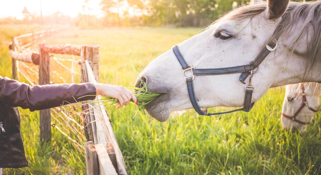 girl-feeding-a-gorgeous-white-horse-with-grass-picjumbo-com